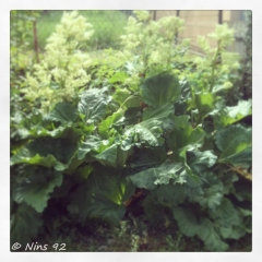 rhubarbe01